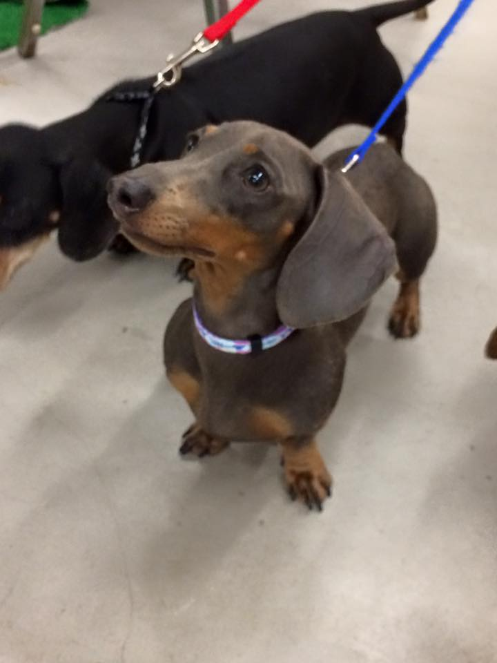 Report Browns Close To Stadium Renovation Plan together with Search moreover Dachshund Races together with  on weiner dog races new orleans